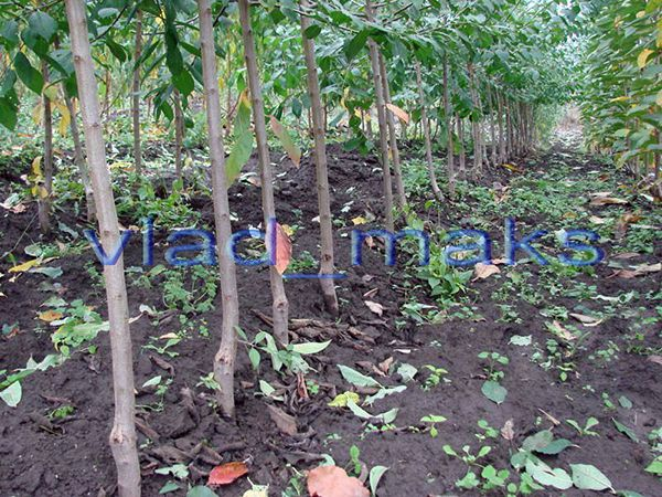 У Жительницы  деревни Остров Поболовского сельсовета Рогачевского района выкопали шесть саженцев
