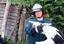 Сотрудники Рогачевского районного отдела по чрезвычайным ситуациям спасли аистенка, выпавшего из гнезда