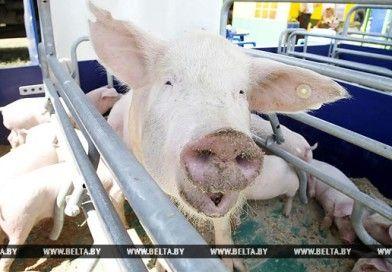 Минсельхозпрод не планирует отмену запрета на содержание свиней в буферных зонах возле свинокомплексов