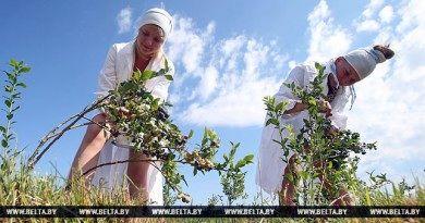 Белорусские ученые разработали технологию восстановления торфяников с помощью ягодных культур