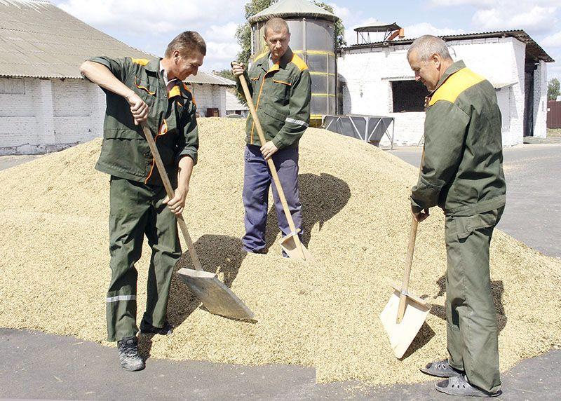 Грузчики Рогачёвского ХПП Виталий ШКУРАТОВ (слева направо), Александр ШЕЛЬМАНОВ и Виктор ЦОДИКОВ задействованы на этапе приёмки зерна.