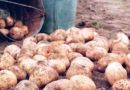 В Рогачевском районе рабочие перебирали картошку и нашли гранату