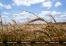Массовая уборка зерновых началась в Беларуси