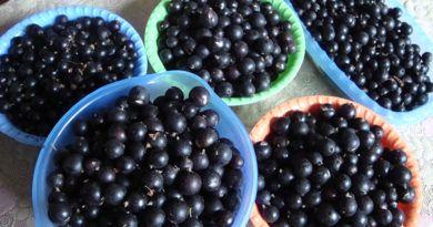 Страсти по смородине, или Нелегко рогачёвцам сдать кровно собранные ягоды