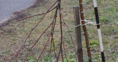 Рогачёвские подростки сломали молодые рябины возле родной школы, но вскоре поспешили исправить свой поступок